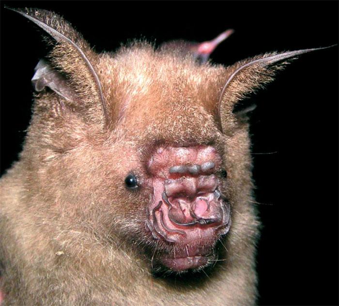Pendlebury's Roundleaf Bat