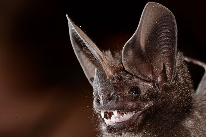 Pygmy Round-Eared Bat