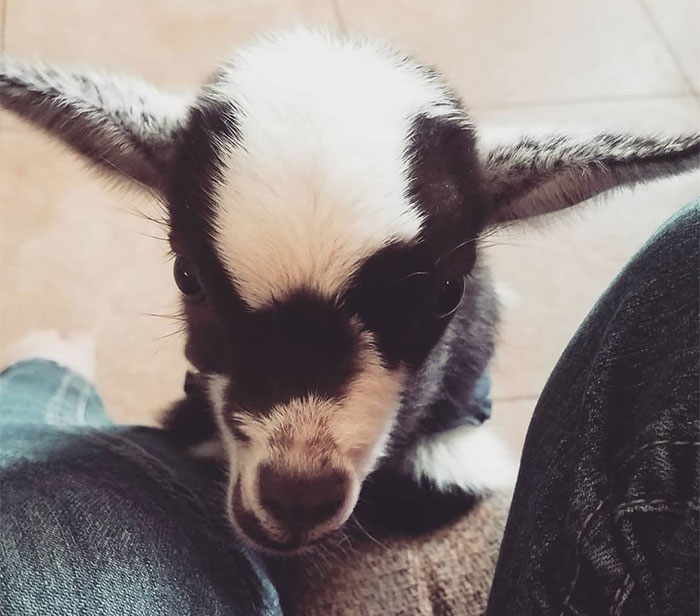 I Spent Last Summer Fostering A Baby Goat And It Never Learnt How To Goat