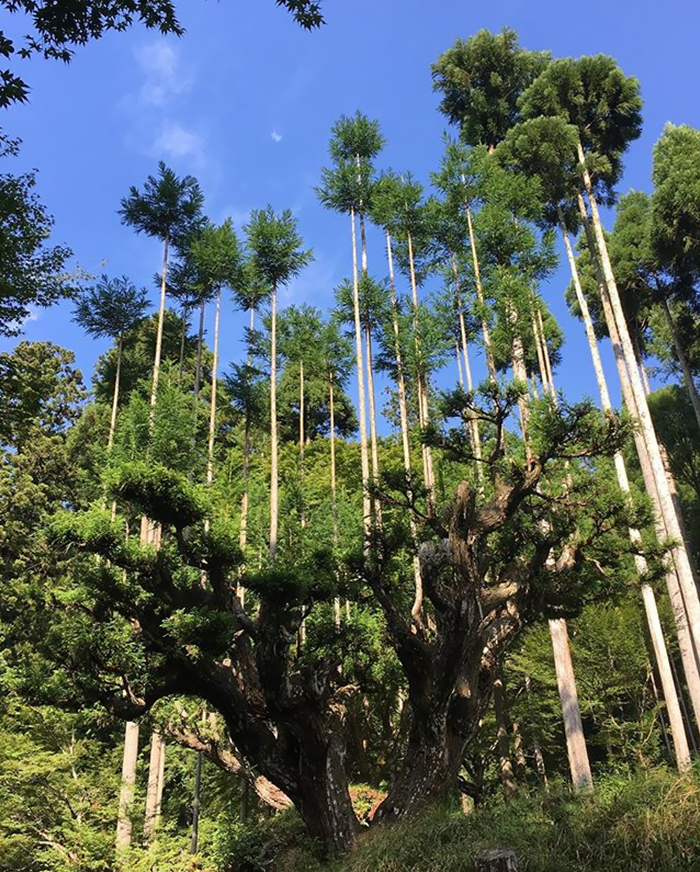 sustainable-japanese-forestry-daisugi-5f215a48a1931__700.jpg