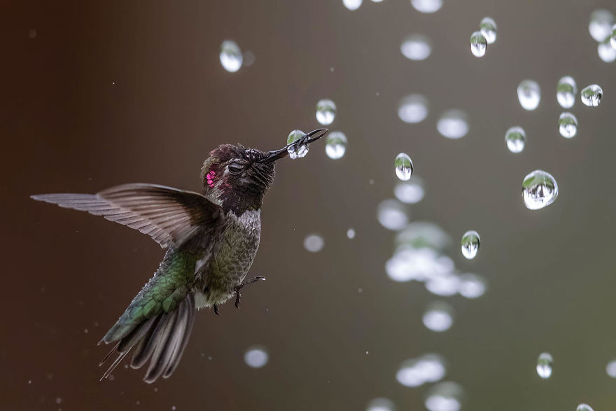 Amateur Honorable Mention: Anna's Hummingbird