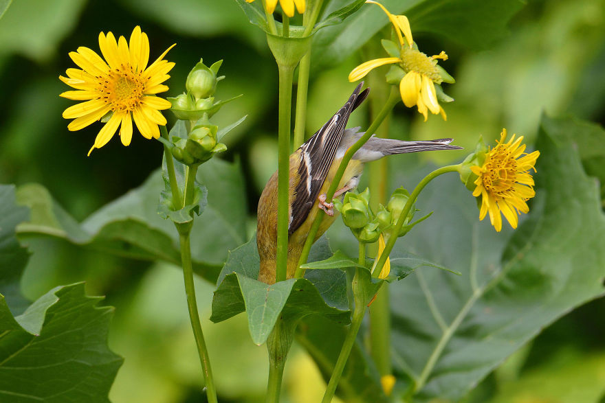 Plants For Birds Winner: American Goldfinch On A Cup Plant