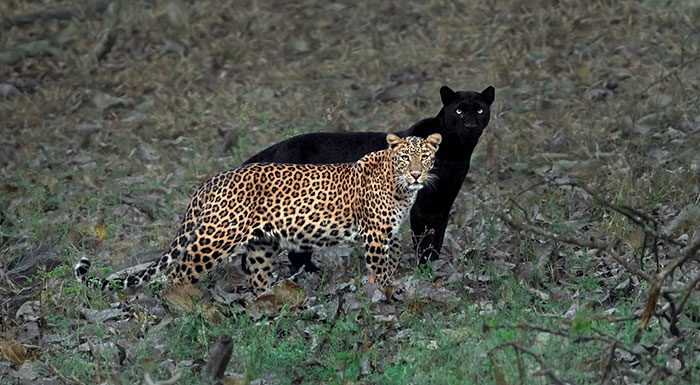 """""""I Could Wait 6 Years For A Moment Like This"""": Wildlife Photographer Waits 6 Days For A Perfect Leopard And A Black Panther Shot"""