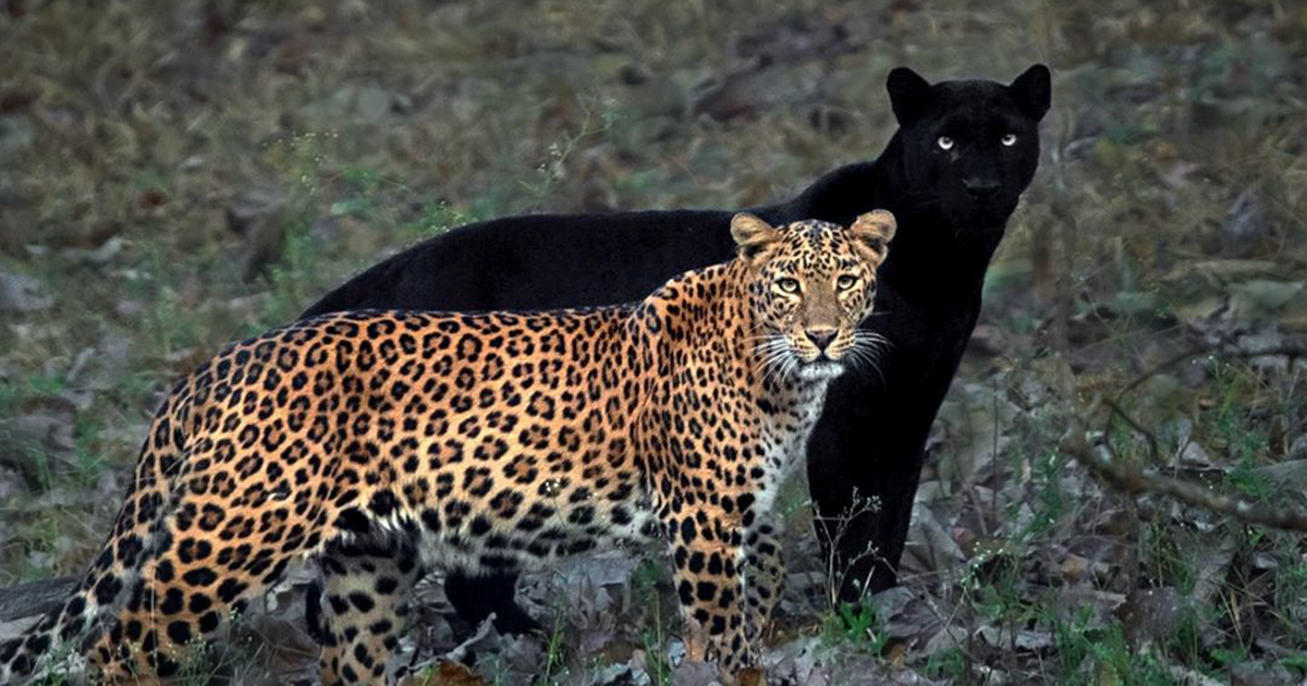 "This Wildlife Photographer Waits 6 Days For A Perfect Panther ""Shadow"" Photo"