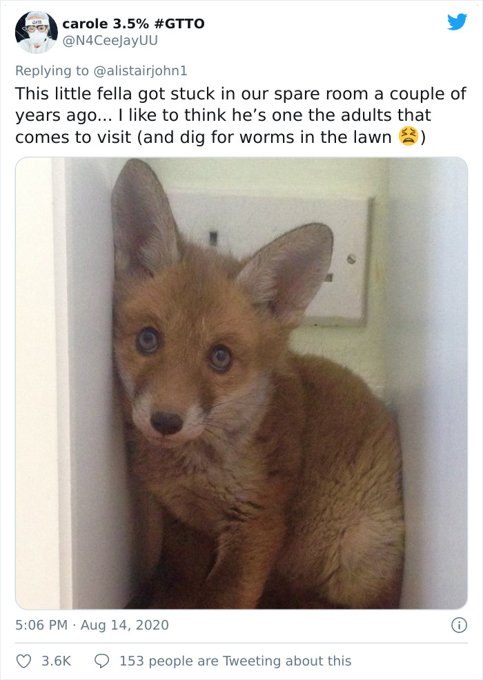 A Fox. Behind My Bookcase. An Actual Fox. A Library Fox. At 4am. An Actual Bloody Bona Fide Library Fox. What A Night It's Been