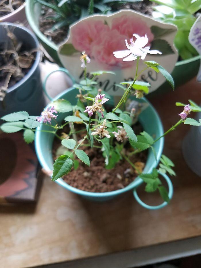 Here's My Mini Rose