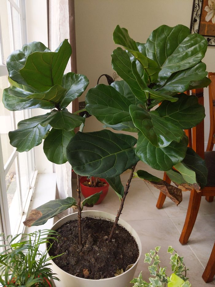 Ooooooh My Gorgeous Fiddle-Leaf Fig Which I Almost Lost To Too Much Water