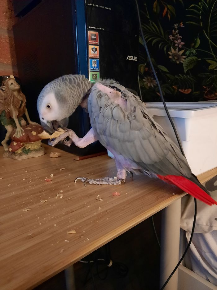 Helping Birds In Need, Meet Kira. The 30 Year Old Congo African Grey