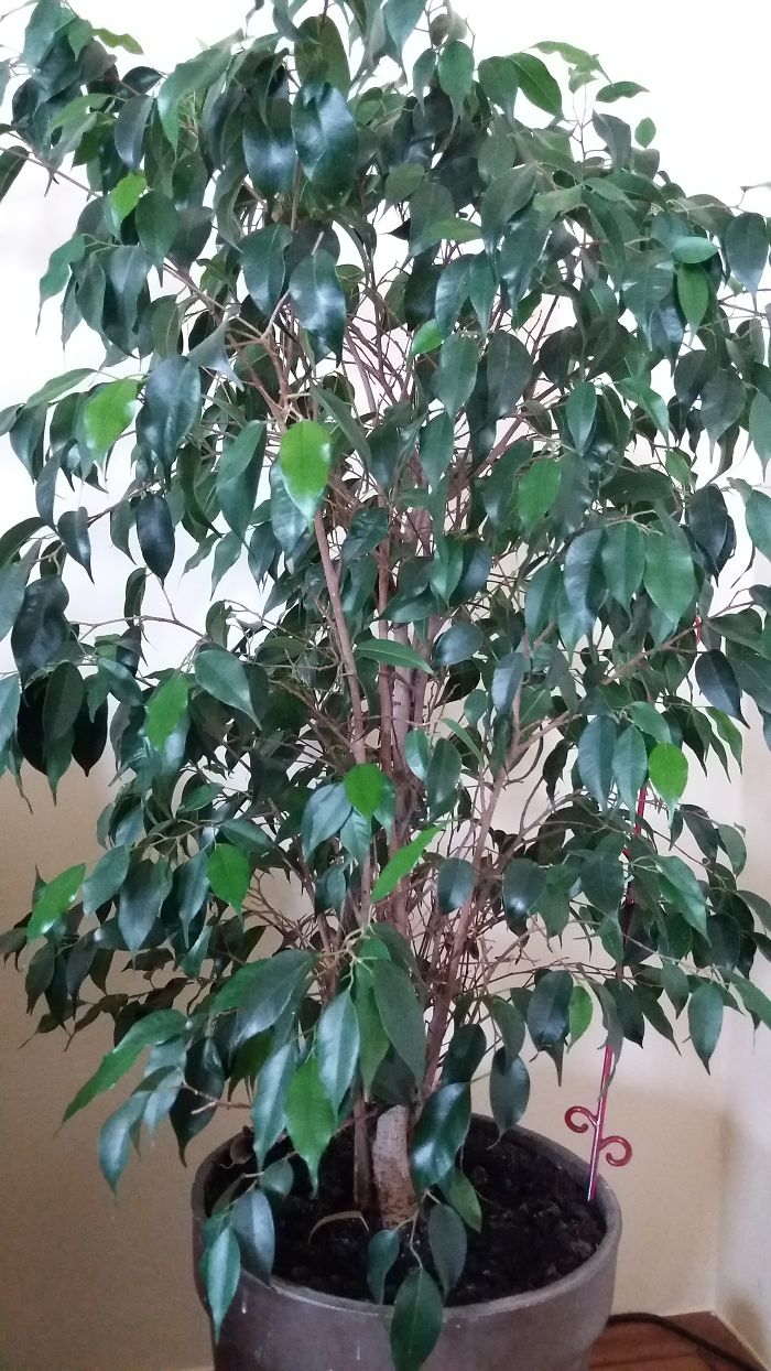 I Got This Ficus From My Mum. I Think It's Ficus Benjamin, But I'm Not Sure. Anyway, I Love It