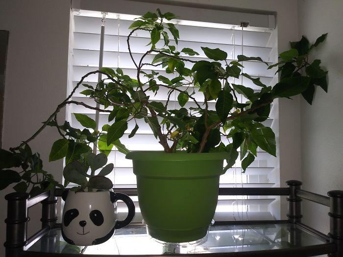 Crazy Poinsettia