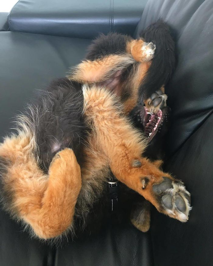 Please See Instruction Manual Before Assembling German Shepherd Puppy
