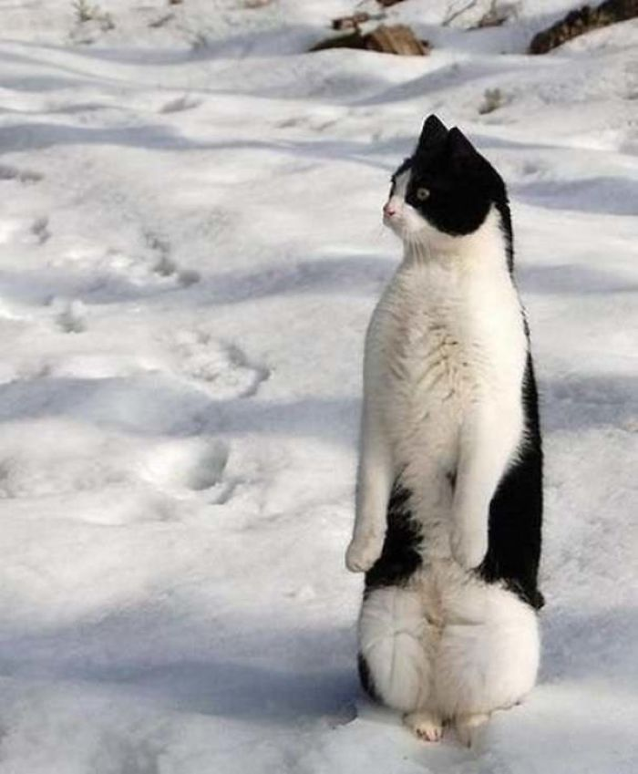Cats-Standing-Like-Penguins