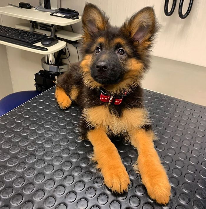 Adorable German Shepherd Puppy At The Vet