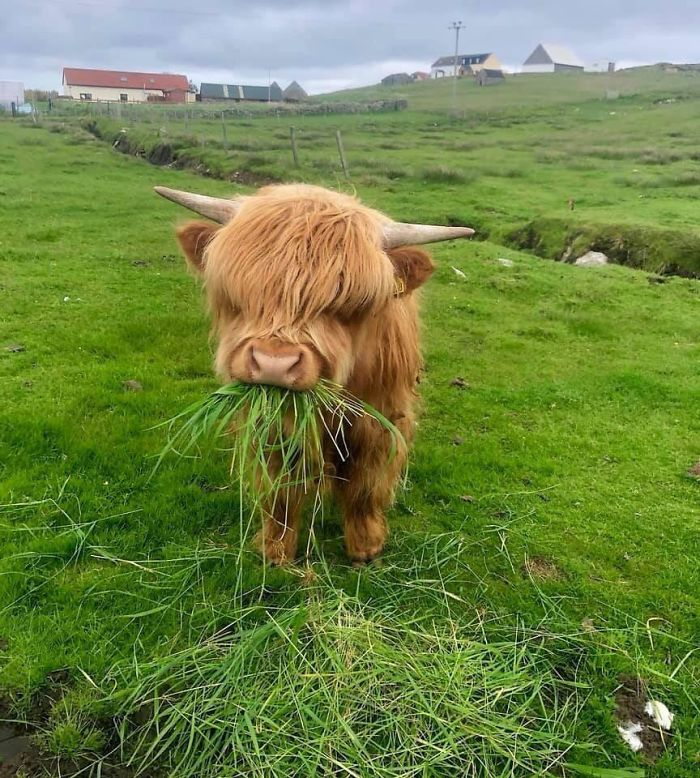 Fluffiest Cow