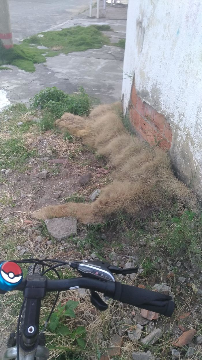 This Grass That Looks Like A Giant Cat