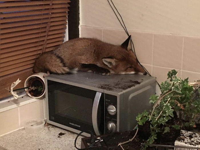 Walked Into The Kitchen Only To Find A Fox That Had Just Randomly Decided To Sneak Into The House And Take A Nap On Top Of Their Microwave