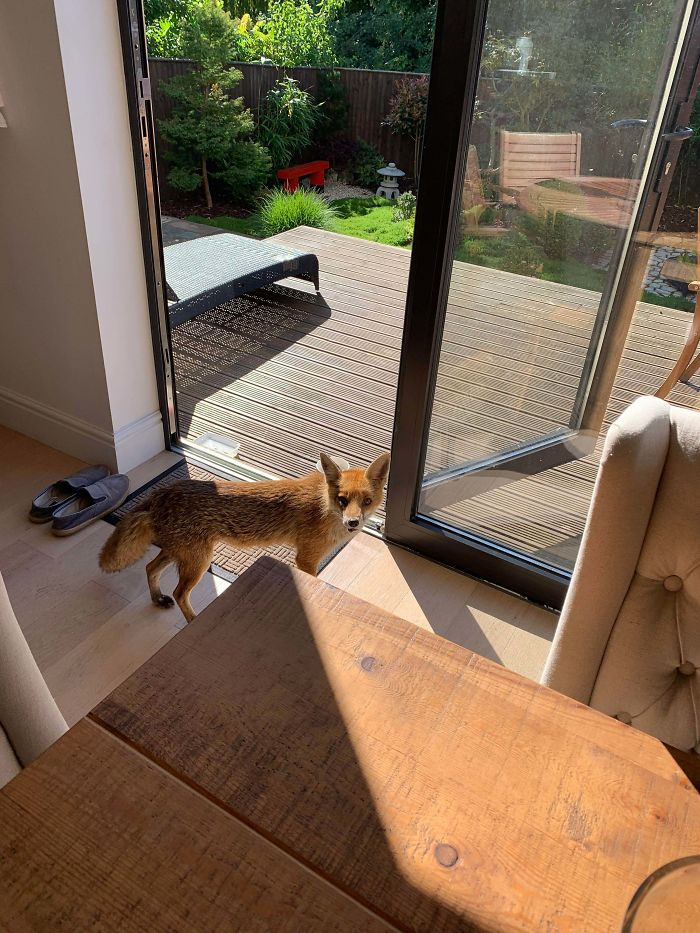 Our Local Fox Is Getting More Brave