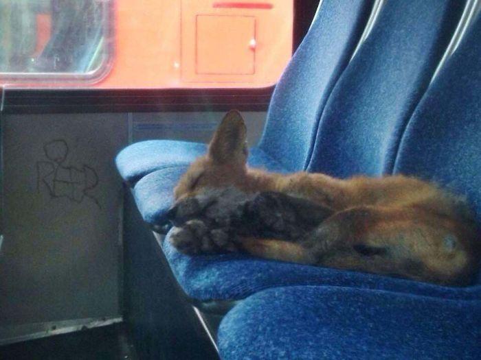 Fox Sneaks Onto Ottawa City Bus For A Nap
