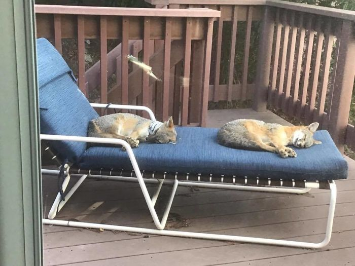 Foxen Sleeping On Friends Upstairs Deck. Last Year There Was Only One