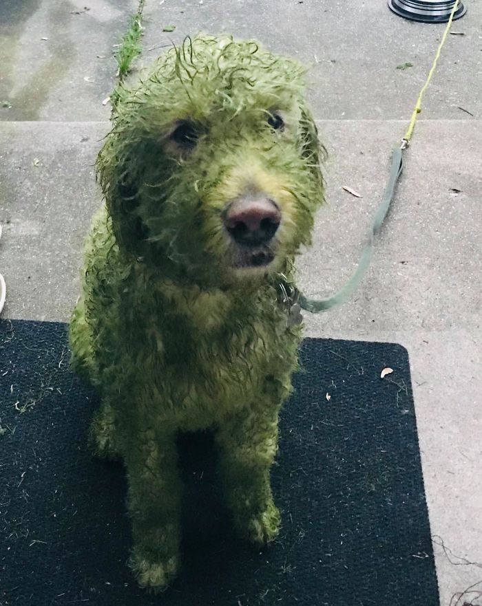 What Could Go Wrong If I Decide To Let My White Dog Out After I Mow My Lawn