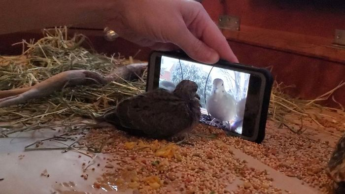 Rescued Dove Learns To Eat By Watching Others. No More Force Feeding!