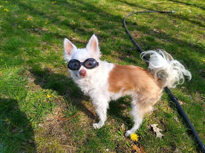 "My 15-Year-Old Chihuahua Has Very Sensitive Eyes Due To Iris Atrophy. Here She Is In Her ""Doggles"""