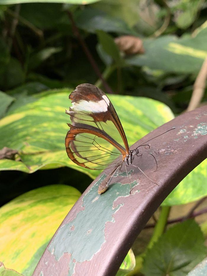 Esta mariposa con alas transparentes