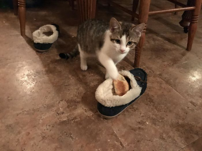 I Caught Her Red Handed. This Stinker Managed To Get Her Paws On A Croissant And Then Promptly Stuck It In My House Shoe