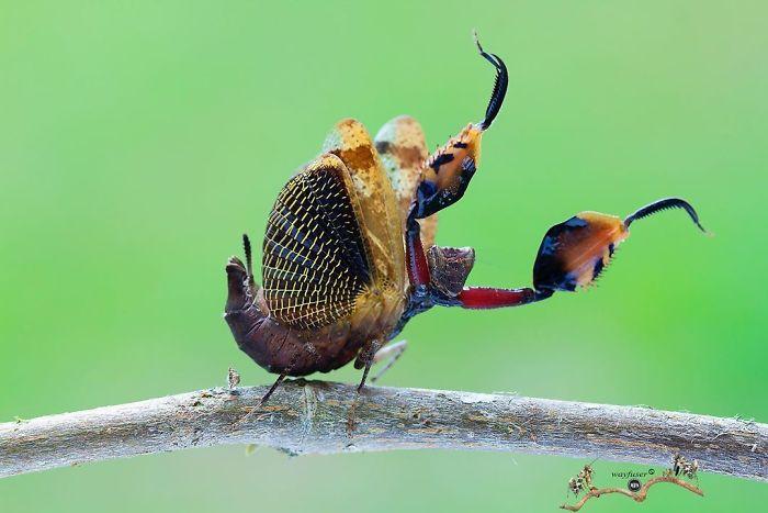 Beautiful-Mantis-Photography-Pang-Way