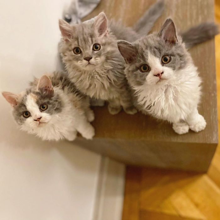 Curly-Cats-Gina-And-Gepetto