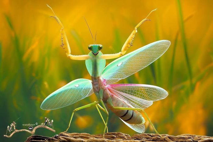 Beautiful-Mantis-Photography-Pang-Way