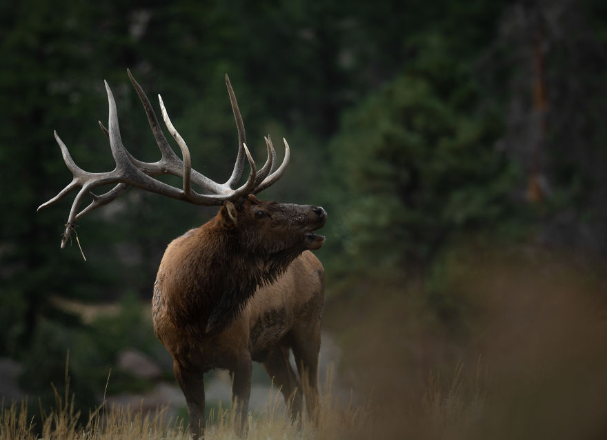 Bull Elk Bugling In The Cold Autumn Air To Attract Potential Mates. Photographed In The Colorado Rocky Mountains