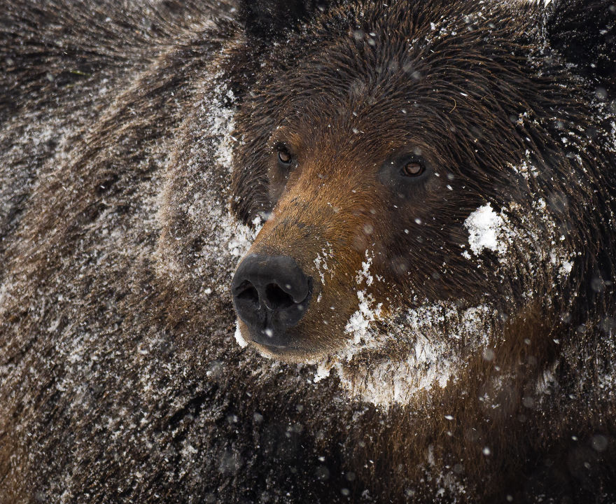 Close Up Of A Male Grizzly Bear Pausing In The Midst Of A Late Spring Snow Storm. Photographed In The Wyoming High Country