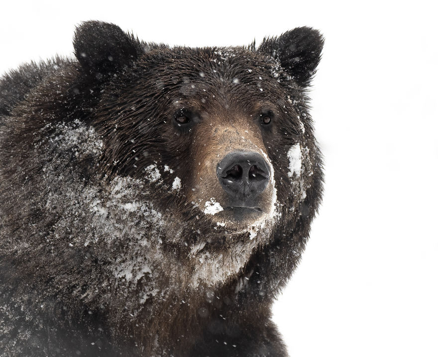 Male Grizzly Bear In A Late Spring Snowstorm. Photographed In The Wyoming High Country