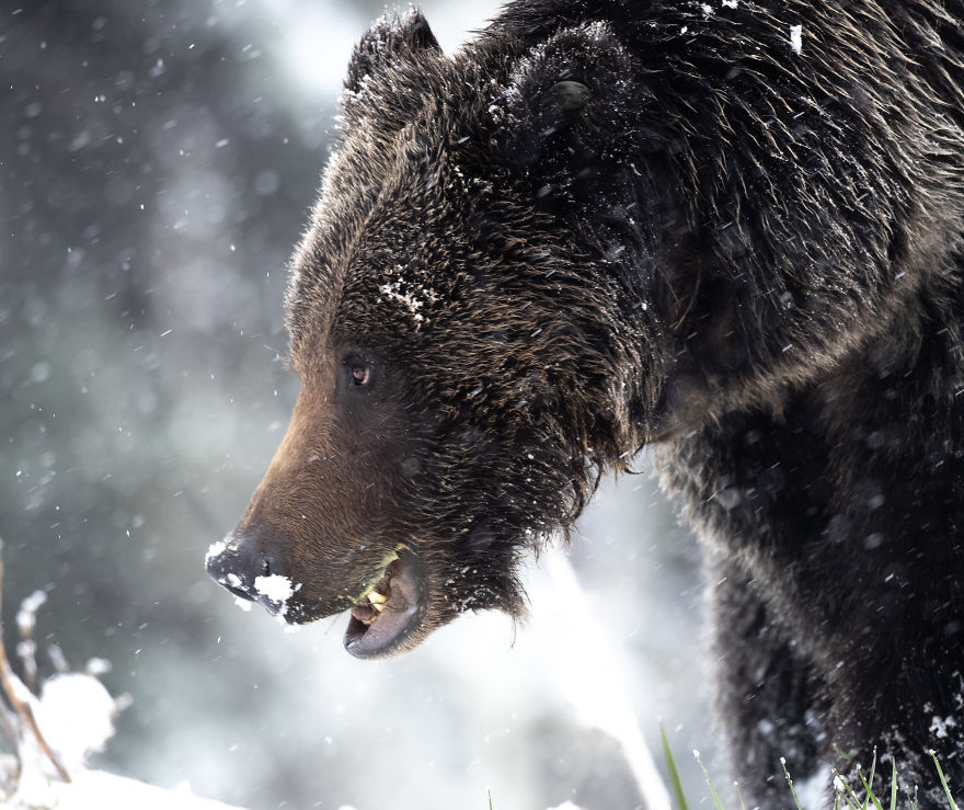 Female Grizzly Bear Foraging For Grass Beneath The Freshly Fallen Snow. Photographed In The Wyoming High Country