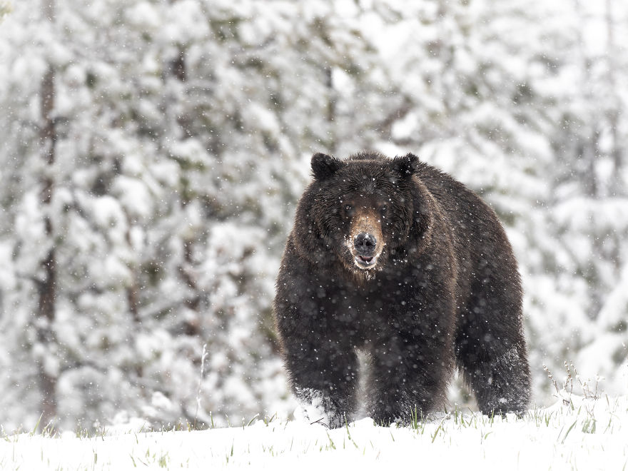 Massive Grizzly Bear Stands Atop A Hill As The Snow Falls Heavily Around Him. Photographed In The Wyoming High Country