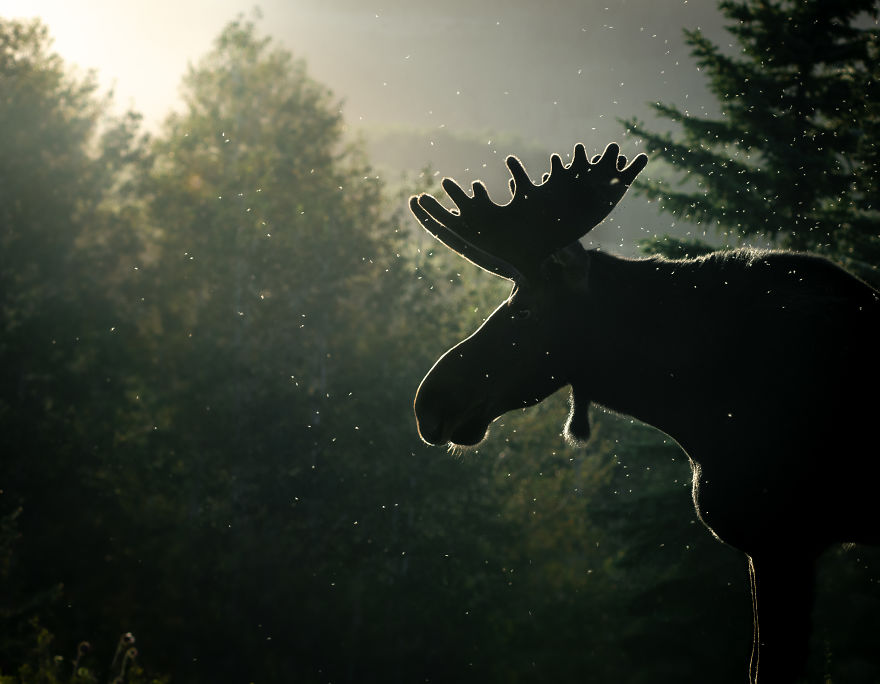 Bull Moose In The Last Light Of The Evening. Photographed In Utah's Wasatch Mountains