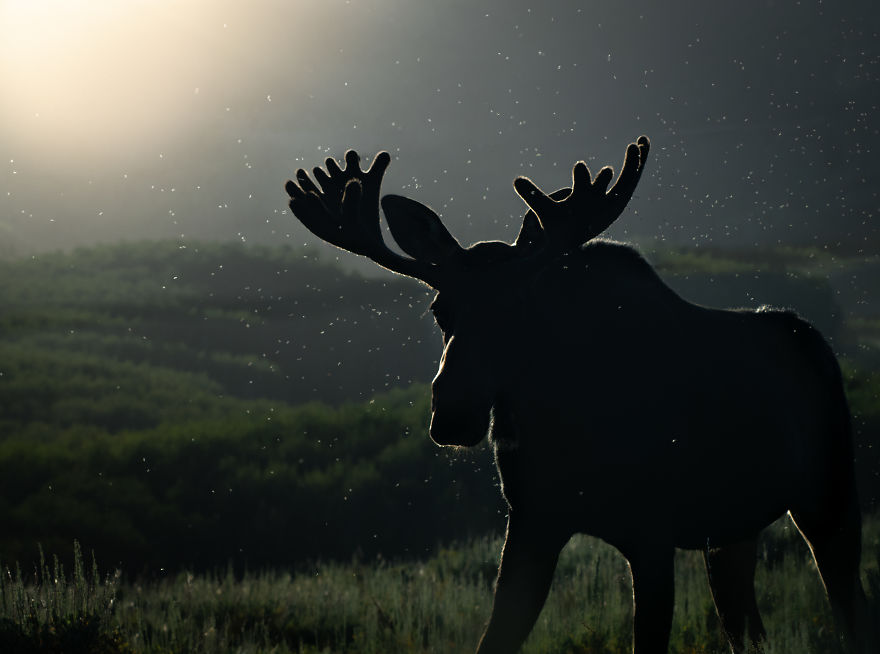 Bull Moose Crosses The Meadow As The Sun Sets Behind Him. Photographed In Utah's Wasatch Mountains