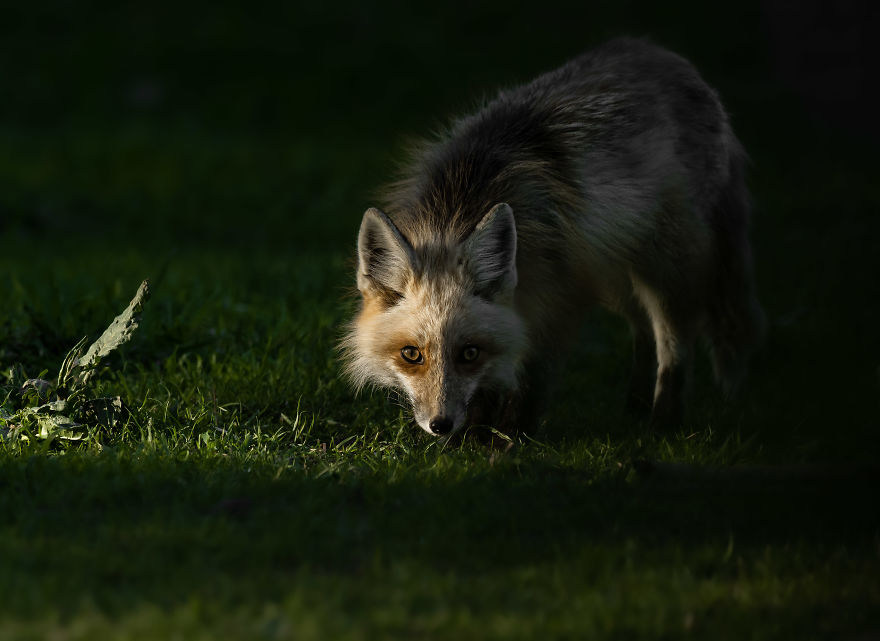 Curious Red Fox Pauses In The Sunlight To Investigate. Photographed In Utah
