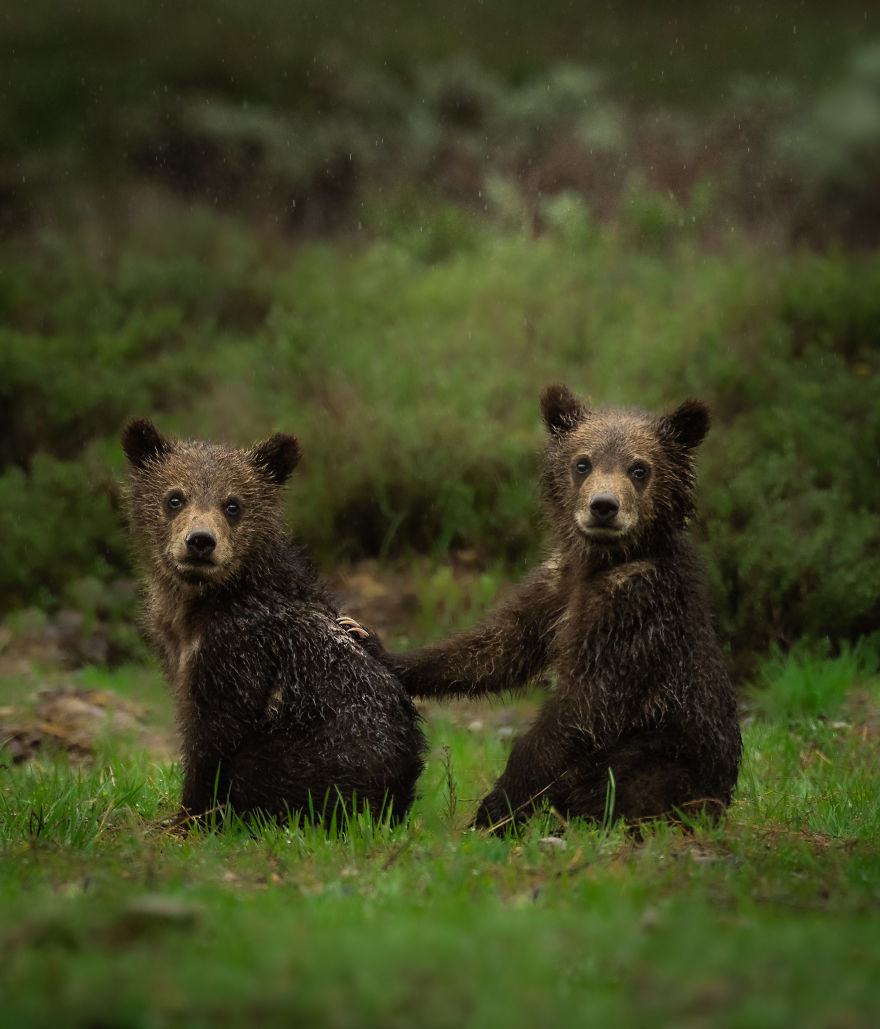 Grizzly Cub Siblings Stare Down The Future Together During A Morning Rain Storm. Photographed In Wyoming