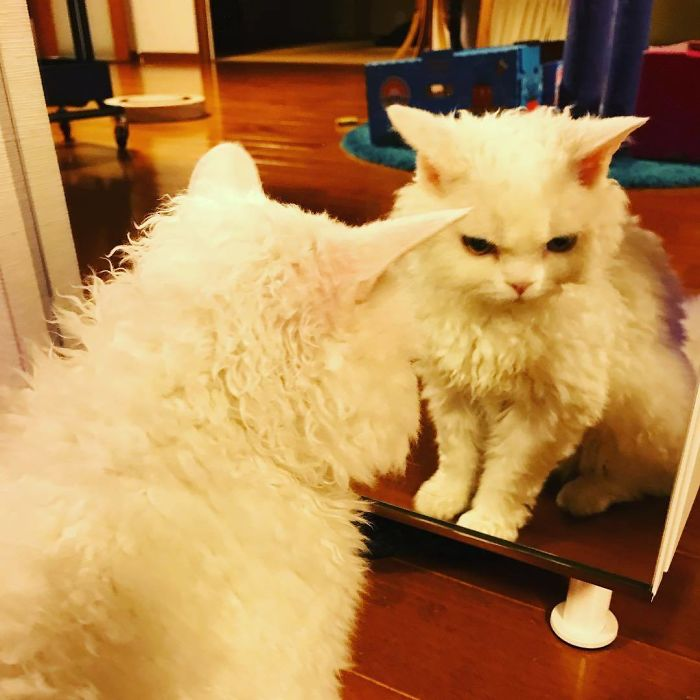Selkirk-Rex-Angry-Cat-Chirico