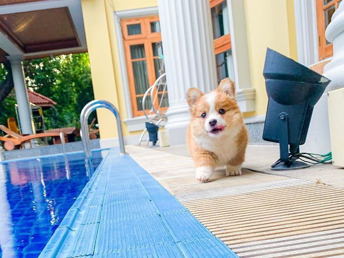 Went For A Swim 🏊‍♀️ Accidentally And Gave Mom A Mini Heart Attack 💔 . . . . . . . #corgiworld_feature#puppystagram#corgicommunity#ruffpost#myfavcorgi#welshcorgipembroke#bestwoof#corgination#feature_do2#dogsofinstaworld#dog_featur#dogsofinstaworld#dogsandpals#releaseyourdogspotential#showpetslove#snapwagdogs#barked#thebarkedclub#swimming#swimmingpuppy#corgipuppy#puppiesofinstagram#corgiup#corgipedia#corgisftw#igpups#corgi.mob#fortheloveofpets#corgistagrams