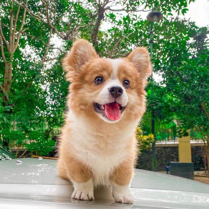Life Is Ruff When U're This Cute 😝 #feistybaby #corgeouscorgi . . . . . . . . . . #corgi#corginstagram#puppyoftheday##corgiworld_feature#puppystagram#corgicommunity#ruffpost#myfavcorgi#welshcorgipembroke#bestwoof#corgination#feature_do2#dogsofinstaworld#dog_features#dogsofinstaworld#dogsandpals#releaseyourdogspotential#showpetslove#snapwagdogs#corgipuppy#corgiworld_feature#corgifeed#igpups#fortheloveofpets#corgistagrams#petstagraam#bestwork