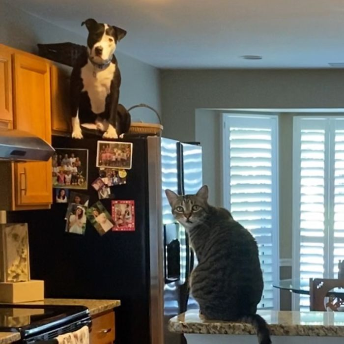 This Shelter Pit Bull Thinks He's A Cat, And His New Family Keeps Posting Photos That Prove It