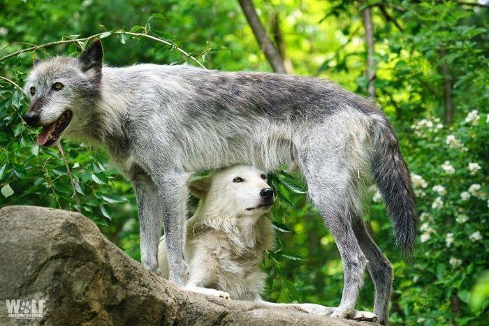 Par de lobos cinzentos