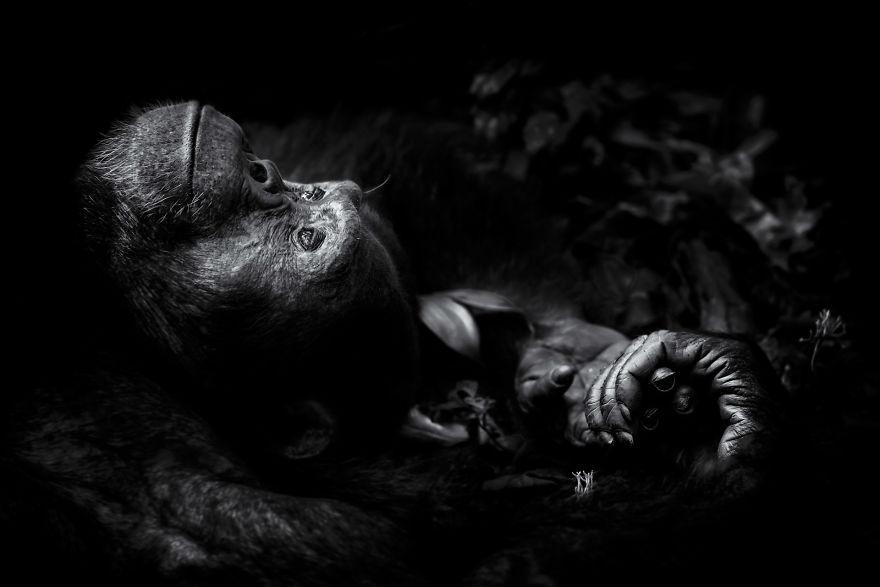 Chimpanzee Dreaming, Uganda