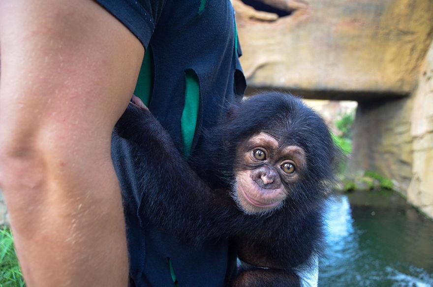 Cuki bébicsimpánzt fogadott örökbe egy csupaszív csimpánzhölgy, aki még nem ismerte az anyaságot
