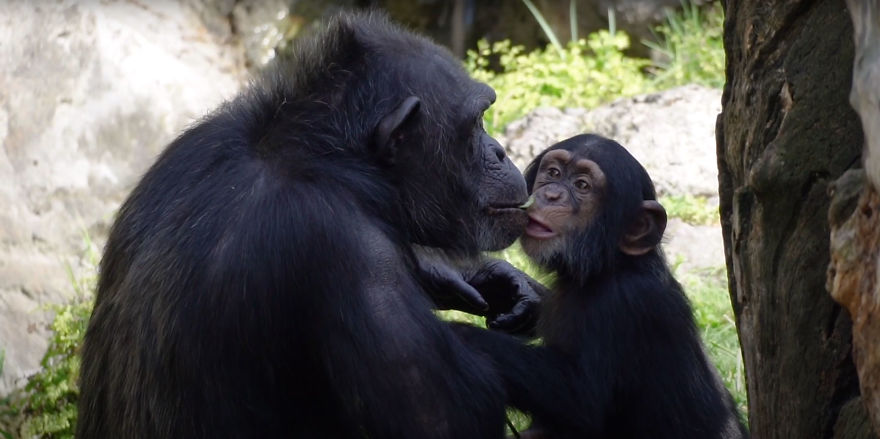 Baby Chimp Cuddles With A Plush Monkey After Being Rejected By His Mother, Finds A New Family