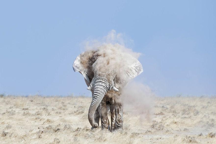 Bull Elephant, Dust Bathing