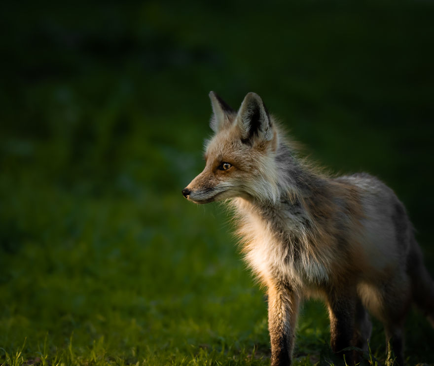 Young Fox Plays In The Last Rays Of Evening Sun. Photographed In Utah